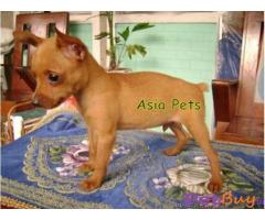 MINIATURE PINSCHER PUPPY FOR SALE IN INDIA