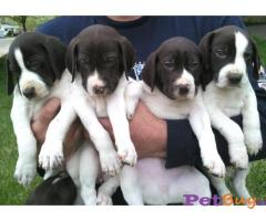 POINTER  PUPPY FOR SALE IN INDIA