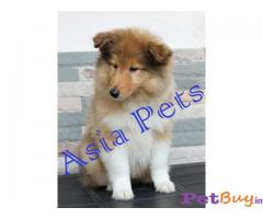 ROUGH COLLIE PUPPY FOR SALE IN INDIA