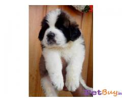 SAINT BERNARD PUPPY FOR SALE IN INDIA