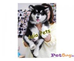 ALASKAN MALAMUTE PUPS FOR SALE IN INDIA