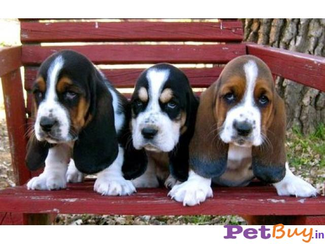 BASSET HOUND PUPS FOR SALE IN INDIA