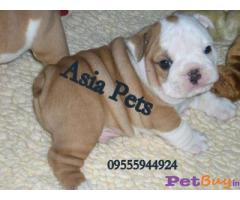 BULLDOG PUPS FOR SALE IN INDIA