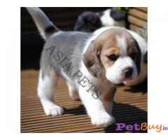 beagle Puppy Price In india