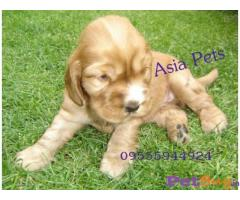 COCKER SPANIEL PUPS FOR SALE IN INDIA