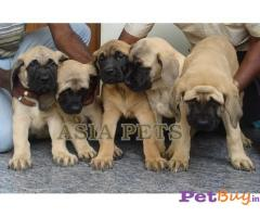 ENGLISH MASTIFF PUPS FOR SALE IN INDIA