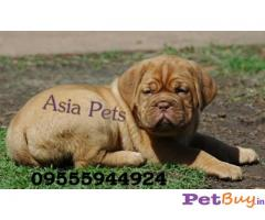FRENCH MASTIFF PUPS FOR SALE IN INDIA