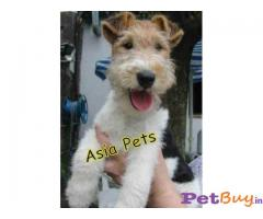 FOX TERRIER PUPS FOR SALE IN INDIA