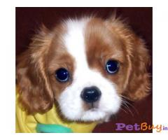 KING CHARLES SPANIEL PUPS FOR SALE IN INDIA