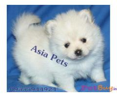 POMERANIAN PUPS FOR SALE IN INDIA
