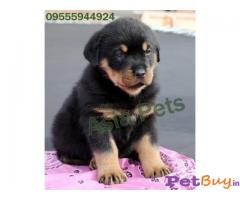 ROTTWEILER PUPS FOR SALE IN INDIA
