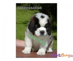 SAINT BERNARD PUPS FOR SALE IN INDIA