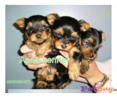 YORKSHIRE TERRIER PUPS FOR SALE IN INDIA