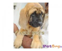 ENGLISH MASTIFF PUPPY PRICE IN INDIA