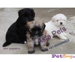 LHASA APSO PUPPY PRICE IN INDIA