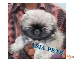 PEKINGESE PUPPY PRICE IN INDIA