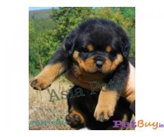 ROTTWEILER PUPPY PRICE IN INDIA