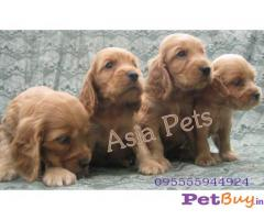 COCKER SPANIEL PUPPIES PRICE IN INDIA