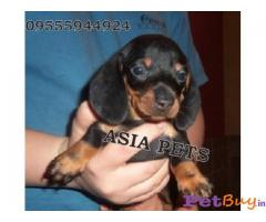 DACHSHUND PUPPIES PRICE IN INDIA