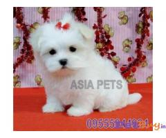 MALTESE PUPPIES PRICE IN INDIA