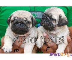PUG PUPPIES PRICE IN INDIA