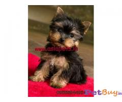 YORKSHIRE TERRIER  PUPPIES PRICE IN INDIA