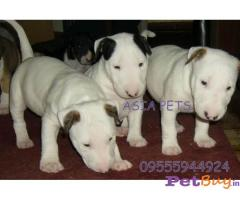 Bullterrier Puppies For Sale in Delhi