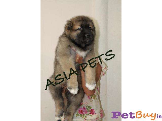 Cane corso Puppies For Sale in Delhi
