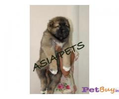 Cane corso Puppies For Sale in Delhi