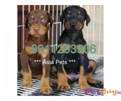 Doberman Puppies For Sale in Delhi