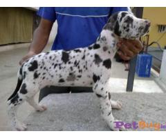 Harlequin great dane Puppies For Sale in Delhi
