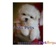 Maltese Puppies For Sale in Delhi