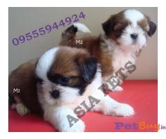 Shih tzu Puppies For Sale in Delhi