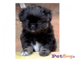Tibetan Spaniel Puppies For Sale in Delhi