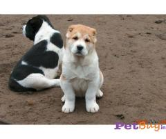 Alabai Puppy For Sale in Delhi