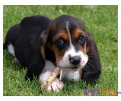 Basset hound Puppy For Sale in Delhi