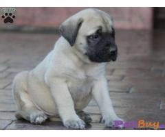 Bullmastiff Puppy For Sale in Delhi