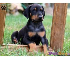 Doberman Puppy For Sale in Delhi