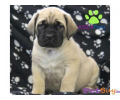 English mastiff Puppy For Sale in Delhi