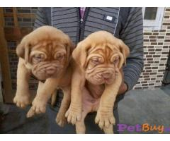 French mastiff Puppy For Sale in Delhi