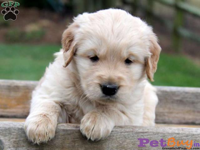 Golden retriever Puppy For Sale in Delhi