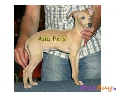 Greyhound Puppy For Sale in Delhi