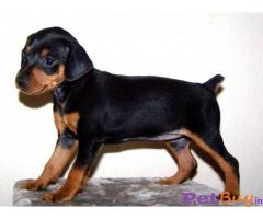 Miniature Pinscher Puppy For Sale in Delhi