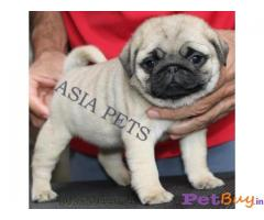 Pug Puppy For Sale in Delhi