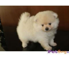 Pomeranian Puppy For Sale in Delhi