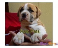 Pitbull Puppy For Sale in Delhi
