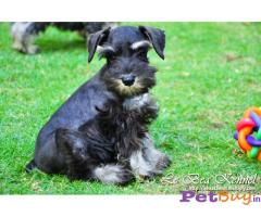 Schnauzer Puppy For Sale in Delhi