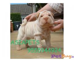 Shar Pei Puppy For Sale in Delhi
