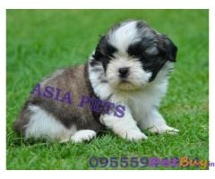 Shih tzu Puppy For Sale in Delhi