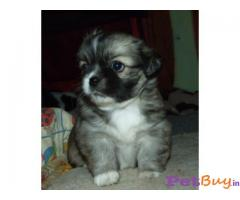 Tibetan spaniel Puppy For Sale in Delhi